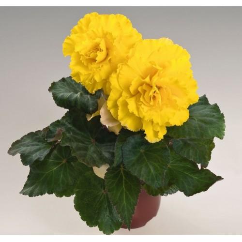 Seminte BEGONIA tuberhybrida NONSTOP F1 Yellow