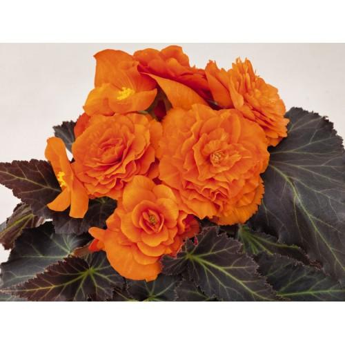Seminte BEGONIA tuberhybrida NONSTOP MOCCA F1 Bright Orange