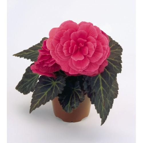 Seminte BEGONIA tuberhybrida NONSTOP MOCCA F1 Pink Shades