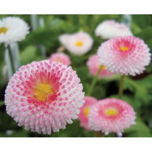 Seminte BELLIS perennis Bellissima Rose Bicolor -Banutei, paralute