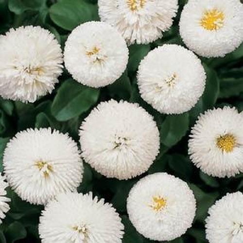 Seminte BELLIS perennis BELLISSIMA White -Paralute