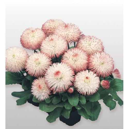 Seminte BELLIS perennis HABANERA Rose -Paralute