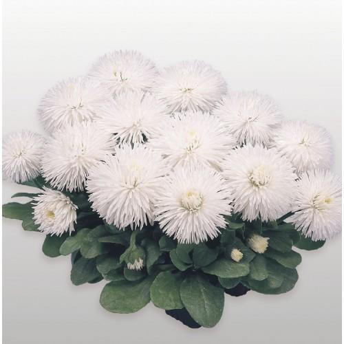 Seminte BELLIS perennis HABANERA White -Paralute