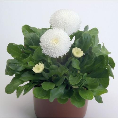 Seminte BELLIS perennis TASSO White -Paralute
