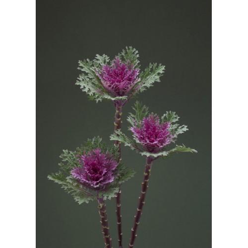 Seminte BRASSICA oleracea CRANE F1Feather Queen - Varza decorativa