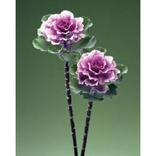 Seminte BRASSICA oleracea CRANE F1Flare Rose - Varza decorativa