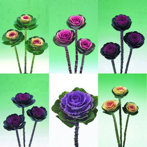 Seminte BRASSICA oleracea CRANE F1 Mix - Varza decorativa