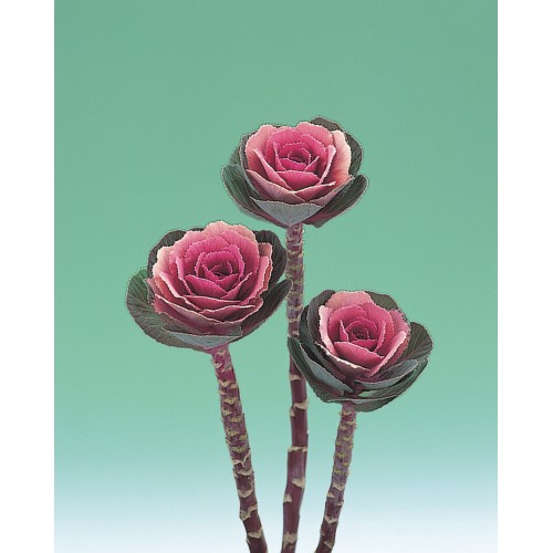 Seminte BRASSICA oleracea CRANE F1 Pink - Varza decorativa