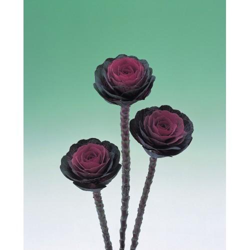 Seminte BRASSICA oleracea CRANE F1 Red - Varza decorativa