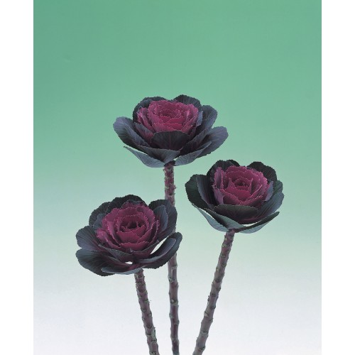Seminte BRASSICA oleracea CRANE F1 Rose - Varza decorativa