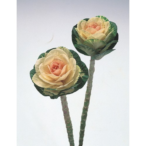 Seminte BRASSICA oleracea Sunrise F1 - Varza decorativa