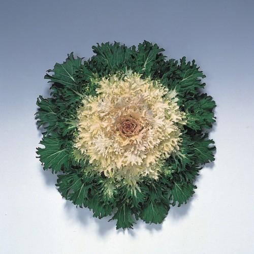 Seminte BRASSICA oleracea- CORAL F1 Prince - Varza decorativa