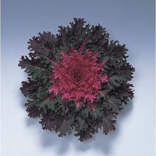 Seminte BRASSICA oleracea- CORAL F1 Queen - Varza decorativa