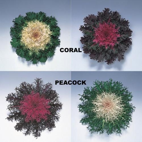 Seminte BRASSICA oleracea- Coral & Peacock F1 Mix - Varza decorativa