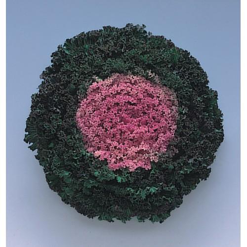 Seminte BRASSICA oleracea- KAMOME F1 Pink - Varza decorativa