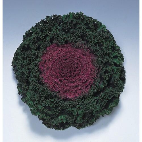 Seminte BRASSICA oleracea- KAMOME F1 Red - Varza decorativa