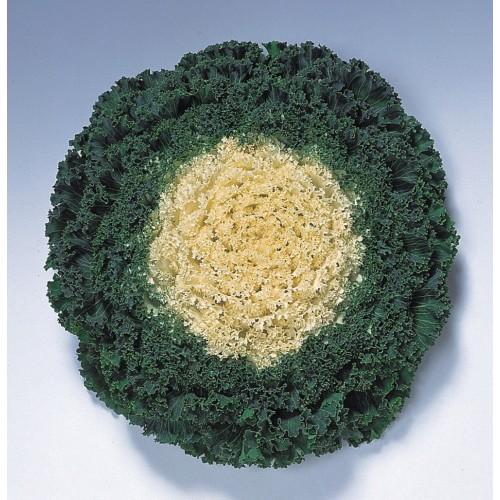 Seminte BRASSICA oleracea- KAMOME F1 White - Varza decorativa