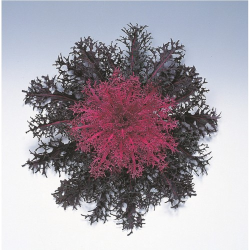 Seminte BRASSICA oleracea- PEACOCK F1 Red - Varza decorativa