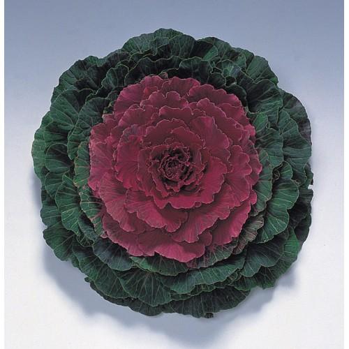 Seminte BRASSICA oleracea- PIGEON F1 Red - Varza decorativa