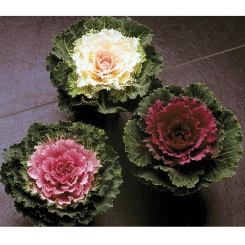 Seminte BRASSICA oleracea- SONG BIRD F1 Mix - Varza decorativa