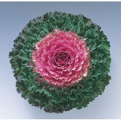 Seminte BRASSICA oleracea- SONG BIRD F1 Pink - Varza decorativa