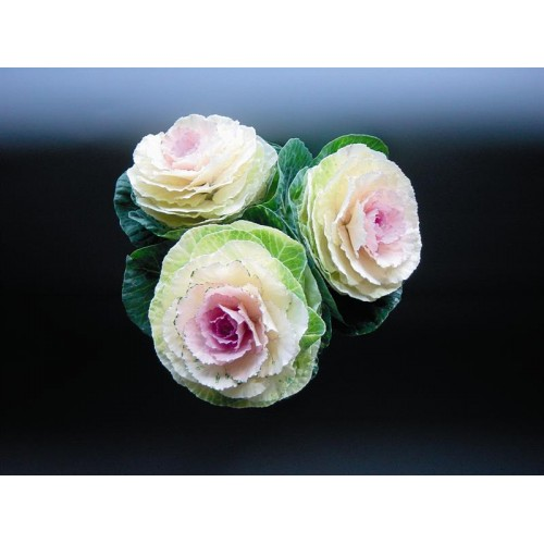 Seminte BRASSICA oleracea CRANE F1 Bicolor - Varza decorativa