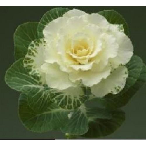 Seminte BRASSICA oleracea CRANE F1 Flare Rose - Varza decorativa