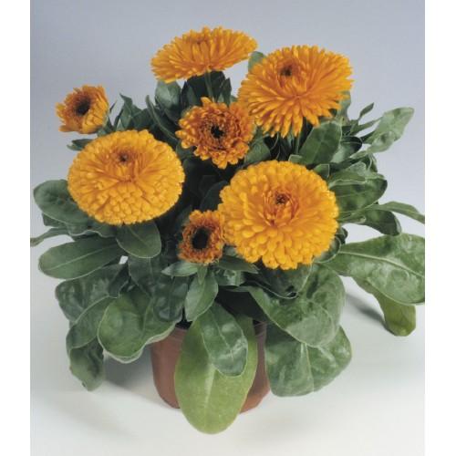 Seminte CALENDULA officinalis GITANA Orange - Galbenele