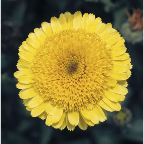 Seminte CALENDULA officinalis PRINCESS  Golden - Galbenele