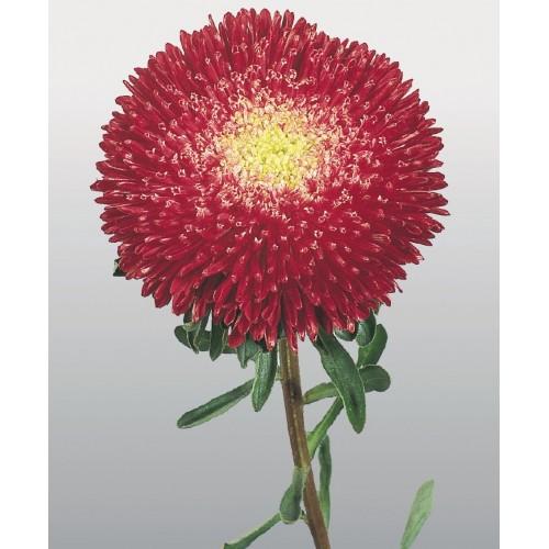 Seminte CALLISTEPHUS chinensis BENARY S PRINCESS Bright Red - Ochiul boului