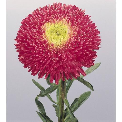 Seminte CALLISTEPHUS chinensis BENARY S PRINCESS Bright Rose - Ochiul boului