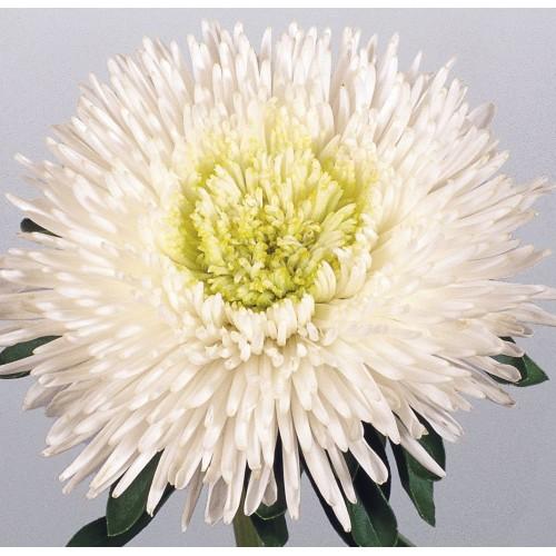 Seminte CALLISTEPHUS chinensis BENARY S PRINCESS White - Ochiul boului