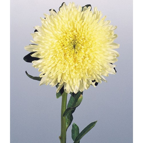 Seminte CALLISTEPHUS chinensis BENARY S PRINCESS Yellow - Ochiul boului
