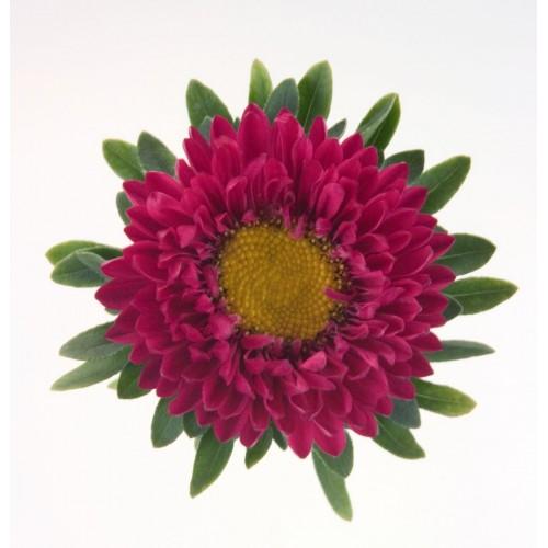 Seminte CALLISTEPHUS chinensis FAN Deep Rose - Ochiul boului