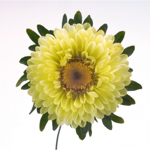 Seminte CALLISTEPHUS chinensis FAN Yellow - Ochiul boului