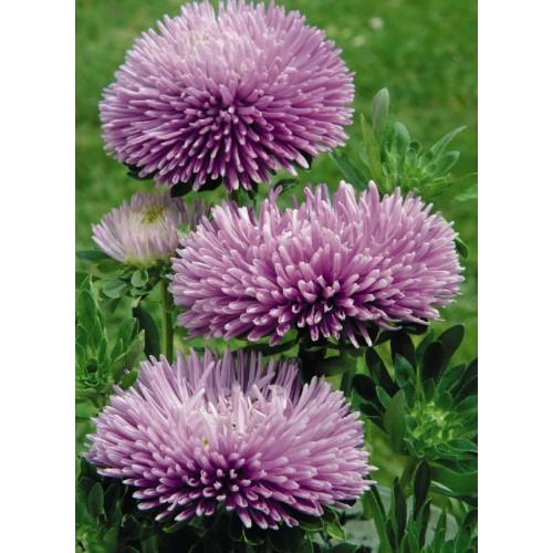 Seminte CALLISTEPHUS chinensis GALA Lavender - Ochiul boului