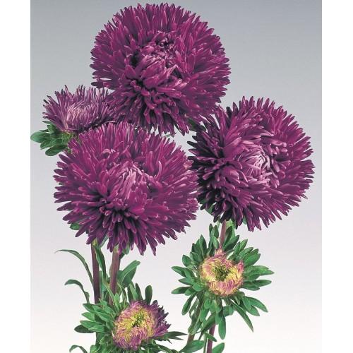 Seminte CALLISTEPHUS chinensis GALA Purple - Ochiul boului