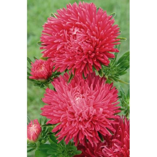 Seminte CALLISTEPHUS chinensis GALA Scarlet - Ochiul boului