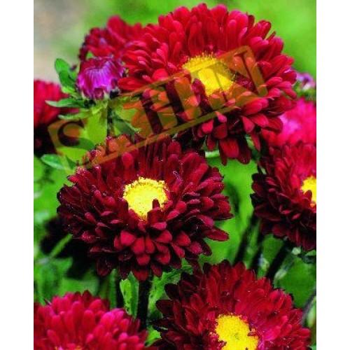 Seminte CALLISTEPHUS chinensis MATSUMOTO Crimson - Ochiul boului