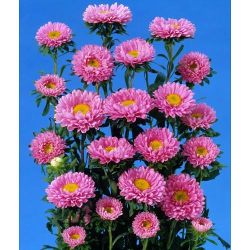 Seminte CALLISTEPHUS chinensis MATSUMOTO Pink - Ochiul boului