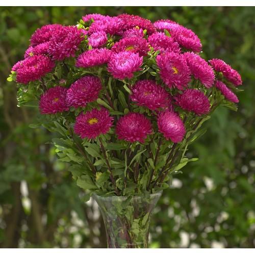 Seminte CALLISTEPHUS chinensis MATSUMOTO Rose - Ochiul boului