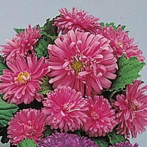 Seminte CALLISTEPHUS chinensis Pot-n-Patio Pink -Ochiul boului
