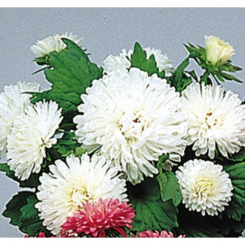 Seminte CALLISTEPHUS chinensis Pot-n-Patio White -Ochiul boului