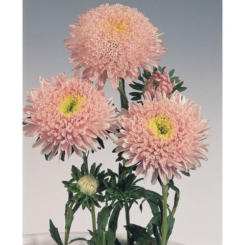Seminte CALLISTEPHUS chinensis STANDY Light Pink - Ochiul boului