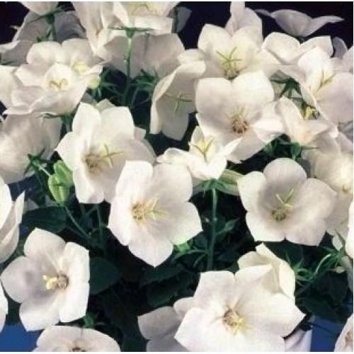 Seminte CAMPANULA carpatica PEARL White - Clopotei