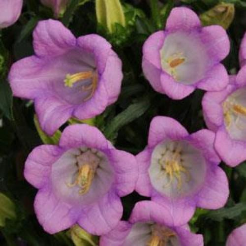 Seminte CAMPANULA medium CAMPANA Lilac - Clopotei mari
