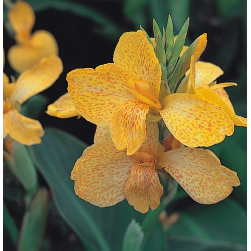 Seminte CANNA generalis TROPICAL F1 Yellow