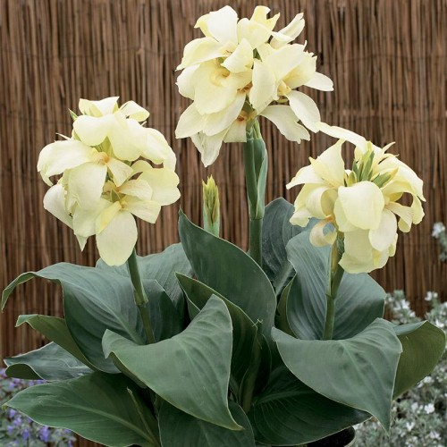 Seminte CANNA generallis South Pacific F1 Ivory - Canna