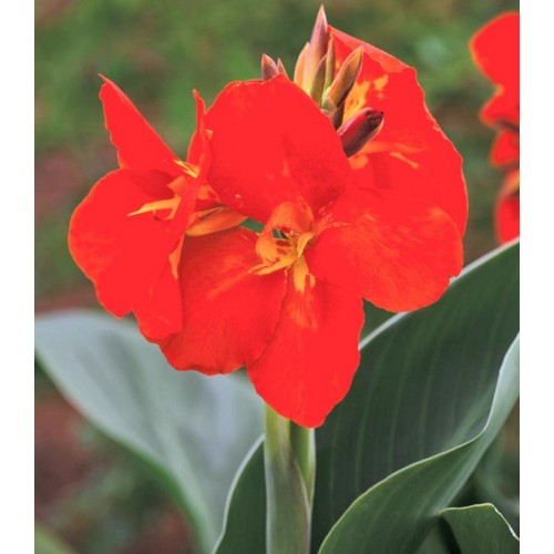 Seminte CANNA generallis South Pacific F1 Scarlet - Canna