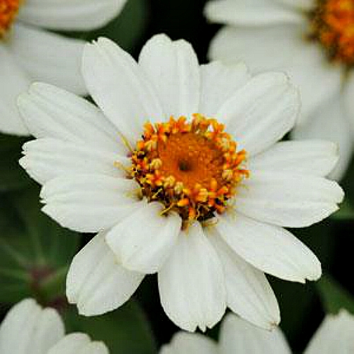 Seminte ZINNIA marylandica ZAHARA F1 White - Carciumarese